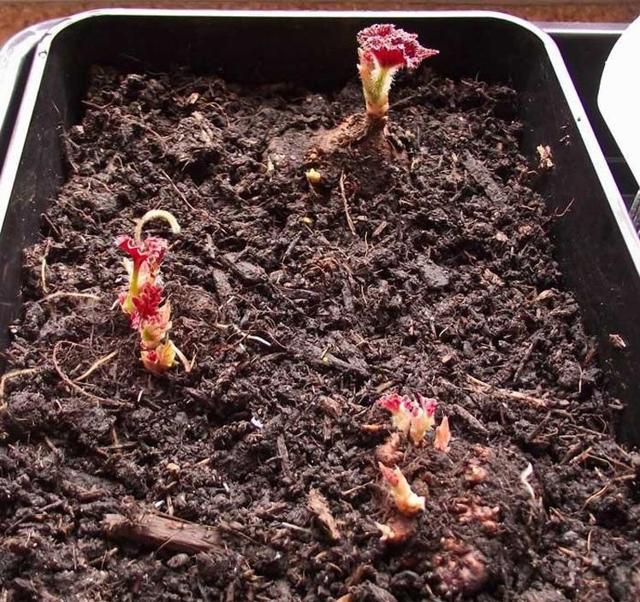 Горшок для бегонии: фото, требования к размеру и материалу, а также какой выбрать состав почвы, как посадить цветок и ухаживать за ним?