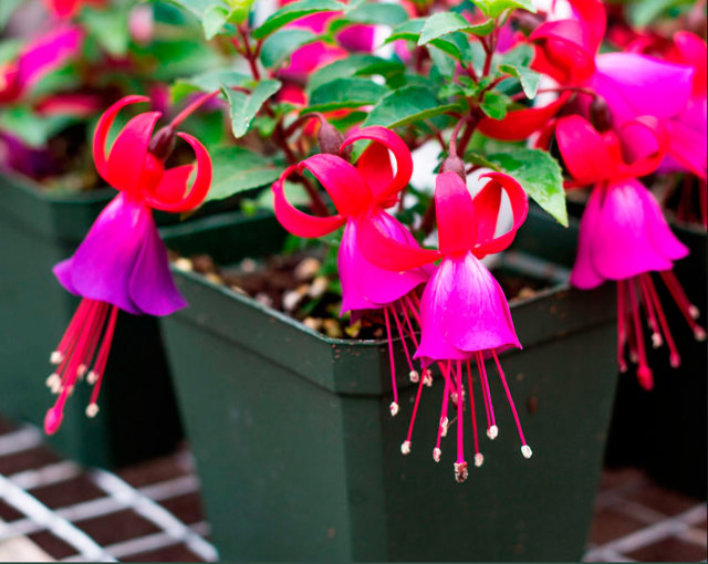 Фуксия: описание и фото комнатного цветка, какие виды растения можно держать дома, какие в саду, распускается ли зимой и как ухаживать для красивых плодов и листьев?