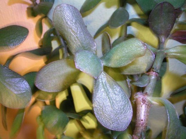 Листья денежного дерева: почему стали тонкие, мягкие, морщинистые и цветок их сбрасывает и вянет, а также когда на толстянке появляются пятна и что с этим делать?