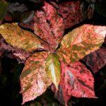Лисохвост луговой, альпийский, коленчатый: фото, виды комнатных растений акалифа уилкса, шершавая, щетинистоволосистая, южная, мозаика, в чем отличия между ними?