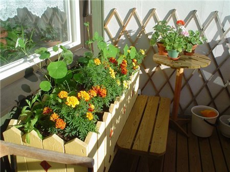 Бархатцы в горшках дома и на балконе: можно ли выращивать в квартире зимой и летом, особенности ухода за цветами, польза и применение