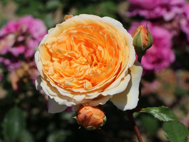 Английские розы в грунте: что это такое, описание лучших парковых сортов с фото - Бенджамин Бриттен, Краун Принцесс Маргарет, Фальстаф - уход в саду, обрезка весной