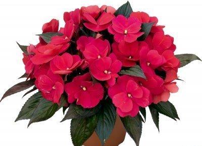 Бальзамин: фото и описание комнатного цветка, как еще называют растение в народе, полезные свойства  и вред, можно ли его держать дома, уход за ним от А до Я