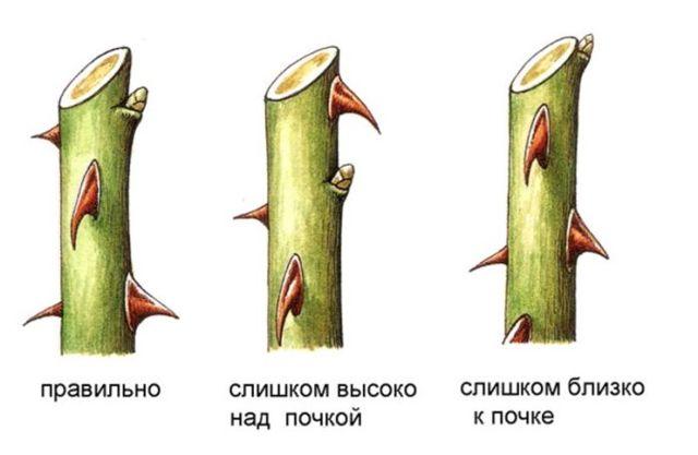 Обрезка роз: что это такое, когда лучше делать, как правильно провести процедуру весной, надо ли удалять побеги перед укрытием на зиму, нужно ли обрабатывать кусты?
