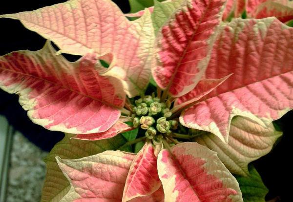 Цветок «Рождественская звезда»: уход и размножение в домашних условиях (фото)