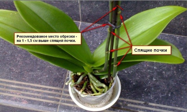 Орхидея выпустила цветонос: что делать дальше, когда на растении появились бутоны, а также какой уход необходимо обеспечить, чтоб избежать ошибок?
