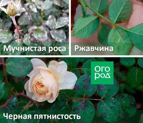 Болезни роз: мучнистая роса и другие проблемы комнатных и садовых цветов, фото, описание и способы их лечения в домашних условиях, а также чем угрожают вредители?