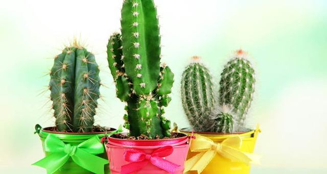 Почему кактус не цветет: как нужно ухаживать и что сделать в домашних условиях, чтобы он распустился, каким образом заставить расти, а также чем подкормить?