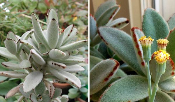 Каланхоэ: виды цветка, названия и фото сортов, в том числе Мангина, Розалина, живородящее, трубкоцветное, махровое и Ти Сенто, а также особенности ухода