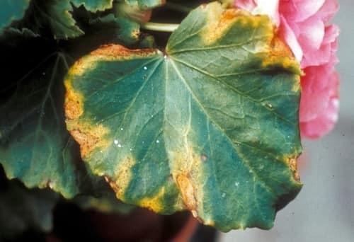 Бегония вечноцветущая посадка и уход в открытом грунте и в домашних условиях, фото и причины, почему она не цветет?