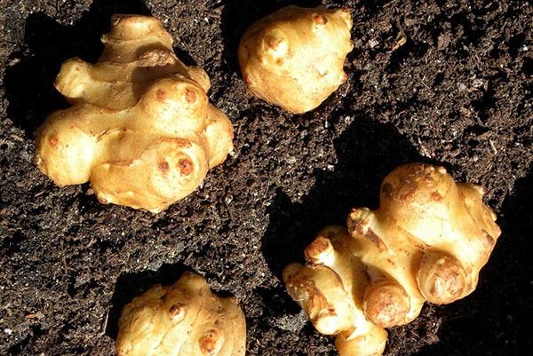 Выращивание топинамбура: агротехника размножения и ухода, фото и как вырастить из семян и клубней дома и в открытом грунте на участке и даче и развести как бизнес?
