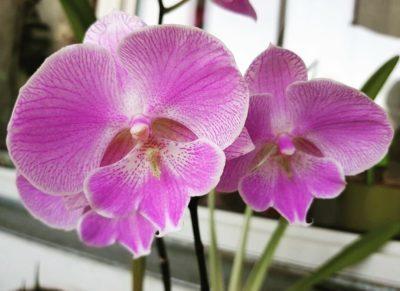Орхидея Биг Лип: описание цветка, то есть, что это такое и как выглядит на фото?