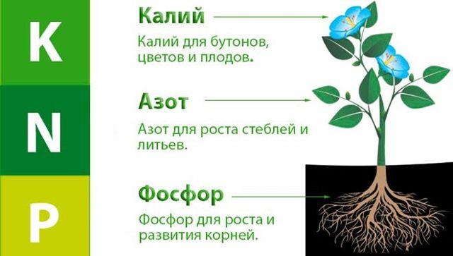 Гибискус сирийский Блю Чиффон (Шифон): ботаническое описание, посадка и уход в открытом грунте, зимостойкость культуры, болезни и вредители