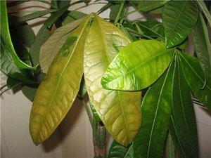 Комнатная гербера болезни: грибки, например, мучнистая роса и вредители, почему возникают пятна на листьях, а также фото этих проблем и их лечение