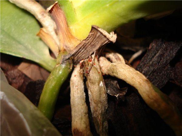 Клещи на орхидеях: панцирный, белый, корневой, как бороться и избавиться от них, а также поможет ли применение инсектоакарицидного средства акаритокс