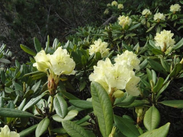 Золотистый рододендрон: что это такое, откуда название кашкара, как  применяют растение в жизни и размножают, в чем отличие от других видов, наглядные фото