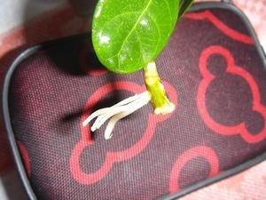 Гардения из семян в домашних условиях: как вырастить и что делать после того, как появятся ростки?