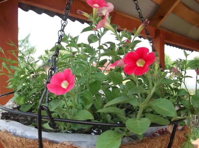 Выращивание петунии: можно ли разводить ее как комнатное растение, как правильно это делать в домашних условиях и теплице, а также что входит в набор для посадки?