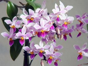 Уход в домашних условиях за фаленопсисом: советы для начинающих по выбору горшка для цветка и правильному выращиванию, а также фото орхидеи
