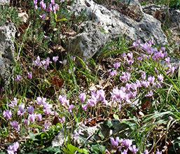 Клубень цикламена: фото, правила процесса посадки, какие полезные свойства имеют корни цветка и как они используются в народной медицине