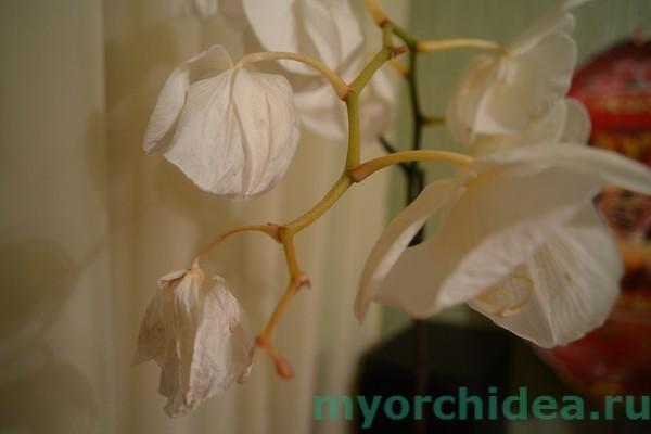 Вянут листья у орхидеи фаленопсис: что делать в этом случае, а также почему могут пожухнуть цветы и бутоны и как оживить растение в зависимости от причин недуга?