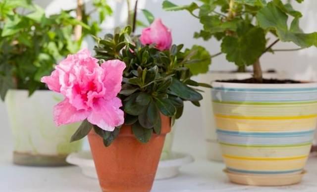 Азалия Микс: описание растения и его подсортов, а также советы по созданию штамба рододендрона, посадке и уходу в домашних условиях с приложением фото цветка