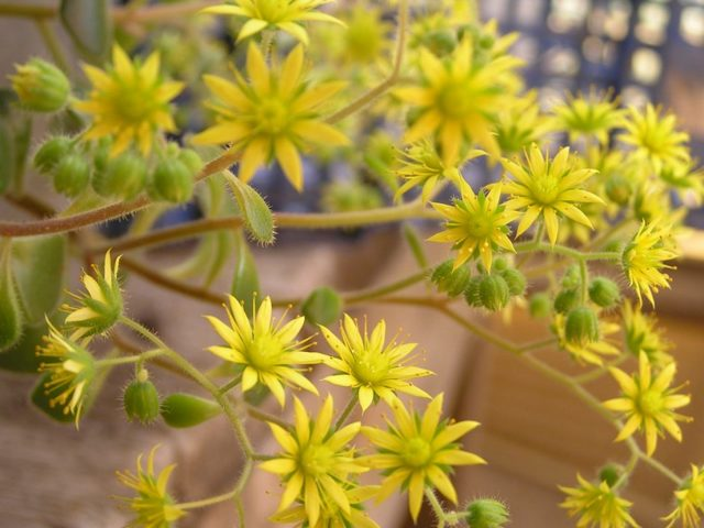 Комнатное растение аихризон Распростертый или Рыхлый (aichryson laxum): описание мини-дерева, а также инструкции по уходу и содержанию