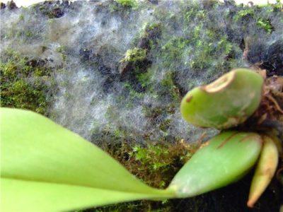 Плесень на орхидее на корнях, в пазухах листьях, в горшке: почему она появляется и как нужно лечить растение, чтобы поскорее избавиться от этого недуга?
