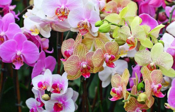 Орхидея фаленопсис размножение в домашних условиях: фото, способы и пошаговое описание процесса