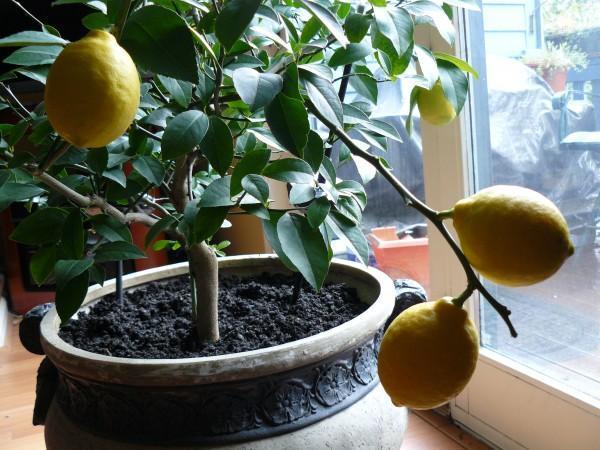 Почему у комнатного лимона желтеют листья, что делать, если они меняют цвет по краям, опадают, каков нужен уход в домашних условиях, чтобы растение их не сбрасывало?