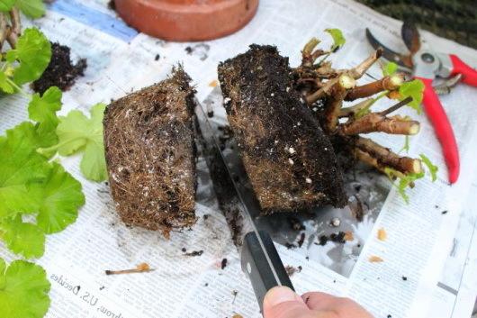 Пеларгония Австралиан Пинк Розебуд: внешние описание растения, особенности размножения, выращивания и ухода, способы борьбы с заболеваниями