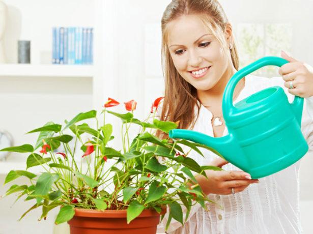 Пересадка антуриума в домашних условиях пошагово: когда это можно делать, как обеспечить уход за мужским счастьем и правильно выбрать грунт, а также фото цветка