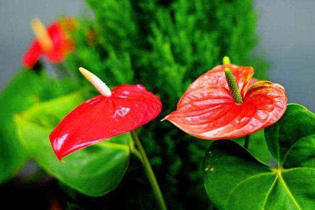 Можно ли держать дома антуриум (мужское счастье): фото в интерьере квартиры, хорошо это или плохо, ядовит и аллергичен цветок для людей или нет, все о пользе и вреде