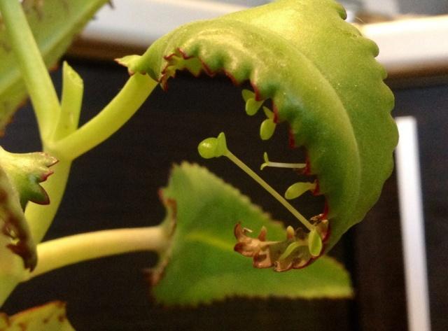 Каланхоэ: лечебные свойства, вред, чем полезен и какие есть противопоказания, является ли ядовитым растением, фото видов (цветущий, перистый и живородящий)