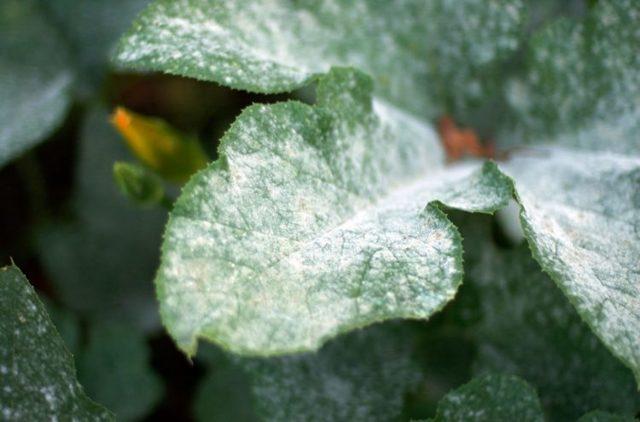 Пеларгония Ангел: что это за растение, особенности размножения семенами и черенками и ухода в домашних условиях, а также фото сортов Виола и Оранж