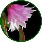 Рипсалидопсис (rhipsalidopsis): описание кактуса и его основных видов, их фото, а также особенности ухода за цветком и методы размножения, похожие растения
