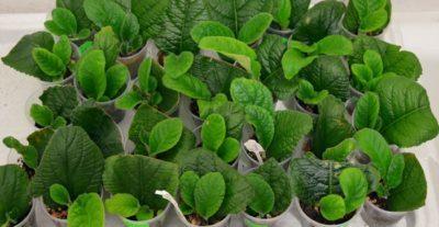 Выращивание стрептокарпуса: выбор грунта и удобрений, полив и необходимые условия, посадка семян и укоренение фрагмента листа, вредители и болезни