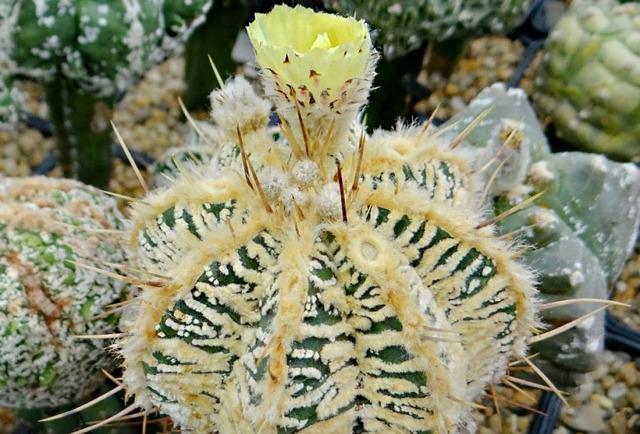 Астрофитум (astrophytum): ботаническое описание и фото кактуса, особенности ухода, а также виды, которые можно приобрести в качестве комнатного растения