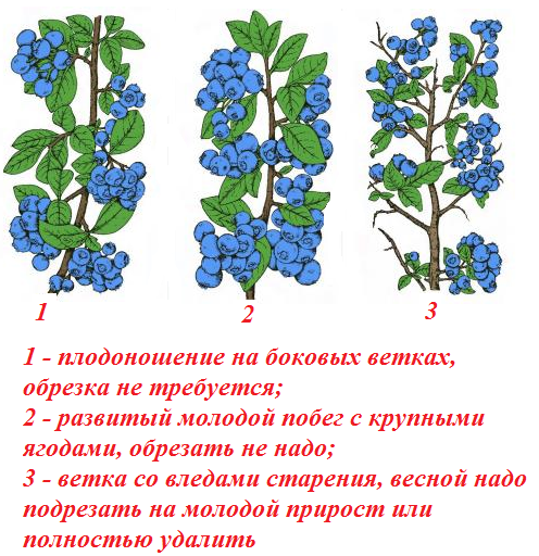 Обрезка глицинии для цветения весной или сохранения правильной формы: пошаговая инструкция, последующий уход и проблемы, а также как часто требуется процедура?