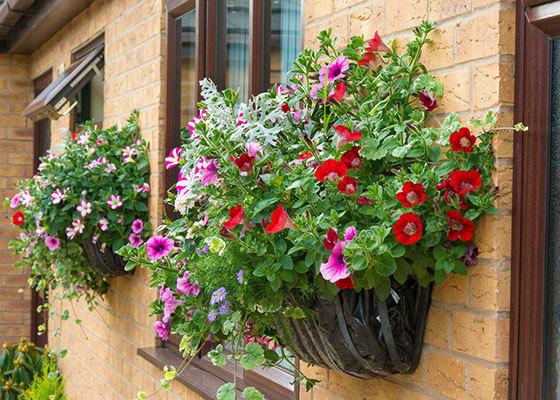 Герань в открытом грунте: уход за кустом на улице летом, в том числе как правильно размножать, поливать и подкармливать растение в саду