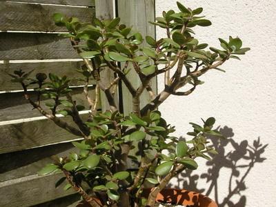 Крассула Минор: описание данного вида толстянки овата с фото, сходство с другими растениями, а также особенности ухода
