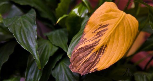 Можно ли пересаживать спатифиллум зимой: в чем особенности ухода за растением в домашних условиях в холодный период года, а также как его поливать и чем подкормить?