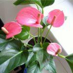 Антуриум уход в домашних условиях: принципы содержания комнатного цветка мужское счастье (anthurium) в горшке, фото растения, а также как правильно размножать его