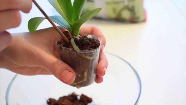Можно ли посадить орхидею в обычную землю: допускается ли это, виды цветов, которые будут в ней расти, а также в какую почву нужно поместить и как ухаживать?