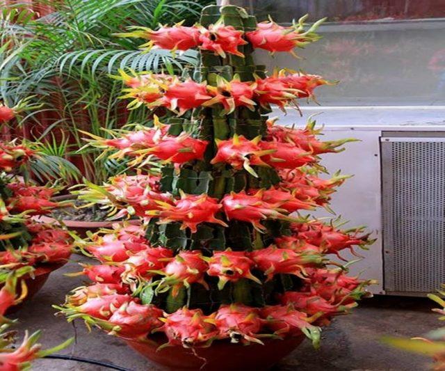 Плоды кактуса: что это такое и как они называются, все ли виды растения пустыни дают съедобные фрукты и ягоды, сколько раз в жизни так происходит, даны фото