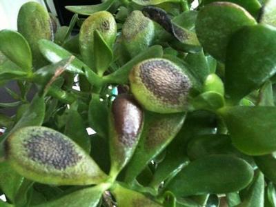 Как размножить денежное дерево: как развести цветок в домашних условиях семенами, чем еще можно укоренять крассулу, когда лучше делать пересадку толстянки?