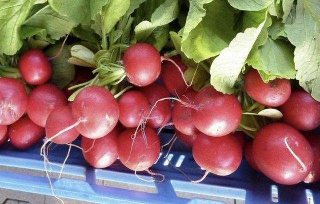 Редис: описание соцветий и корневой системы, тип плода, место происхождения (родина), болезни, интересные факты, и что это такое – фрукт или овощ, как выглядит?