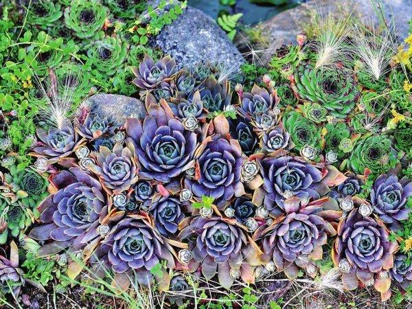Молодило: русское, паутинистое, шароносное, побегоносное, отпрысковое, кавказское, мраморное и другие виды каменной розы, а также их фото для примера