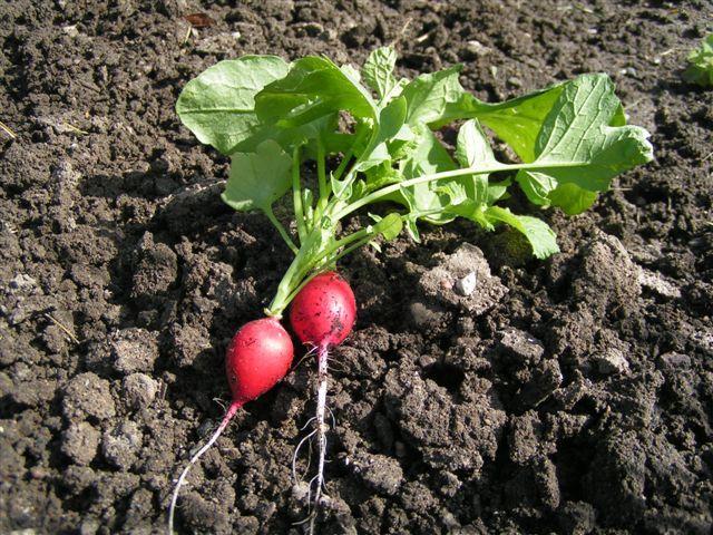 Какую почву любит редиска: земля для выращивания в открытом грунте, дома или в теплице