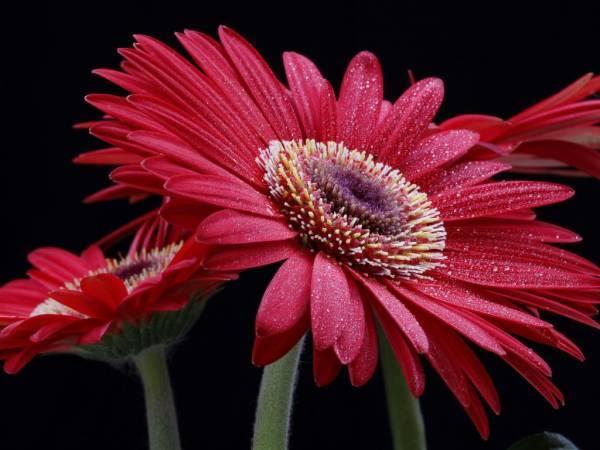 Красные герберы: значение растения и рекомендации по уходу, а также фото цветка
